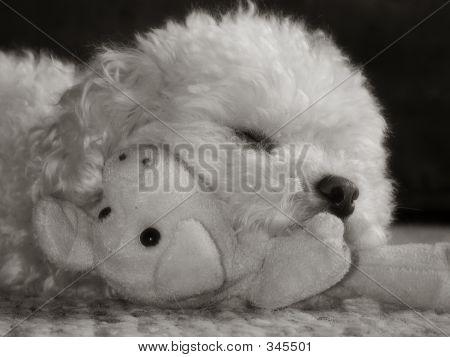 Toy Poodle Sepia