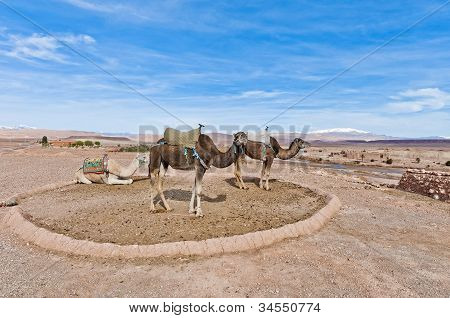Camels Near Ait Ben Haddou, Morocco