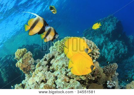 Stock image of Tropical Fish on Coral reef: pairs of Masked Butterflyfish and Red Sea Bannerfish