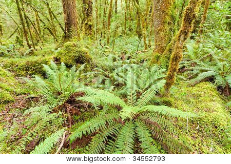 Virgin rainforest wilderness of Fiordland NP NZ