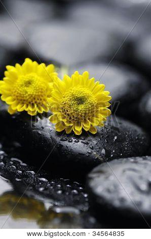 zwei gelbe Gerbea Blume auf Zen Kiesel