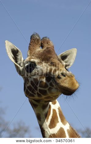 Giraffe Head & Neck
