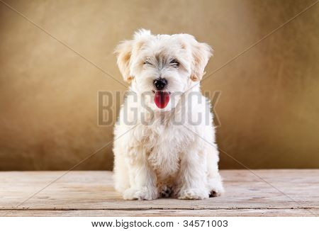 Fluffy pet - small dog sitting with tongue sticking out