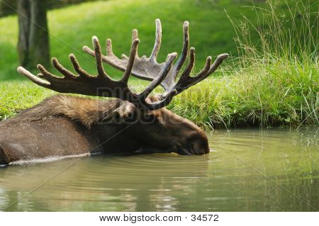 Moose Resting In Pond