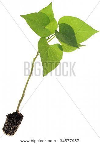 Ipomoea Batatas, Sweet Potato Seedlings Isolated on White Background
