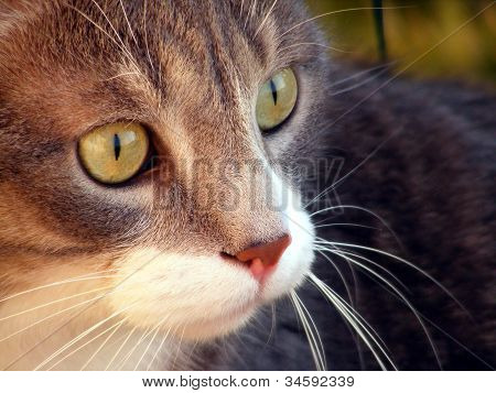 Gray cat close up