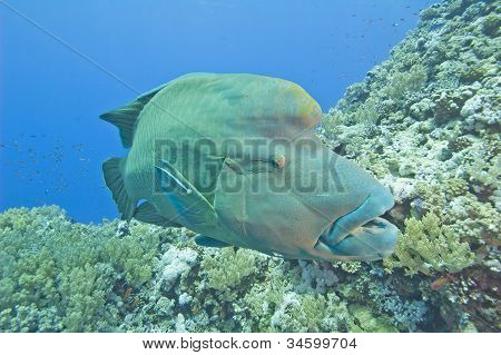 Large Napoleon Wrasse On A Reef