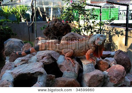 Giant Iguana Full Length On Rocks