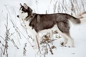 Portrait Of Siberian Husky Black And White Colour Outdoors In Winter. A Pedigreed Purebred Dog poster