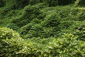 stock photo of scourge  - Kudzu vines the scourge of the southern United States - JPG