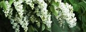 Cropped Picture Of White Lilac Bloom Flowers In Spring. Cover With Springtime Theme. Botanical Garde poster