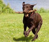 picture of chocolate lab  - A Brown labrador running with a stick in its mouth in a grass field - JPG