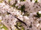 Abstract Floral Background. Nature And Spring Concept. Spring Blossom: Branch Of A Blossoming Cherry poster