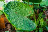 Closeup Of The Leaf Of A Giant Taro Plant, Popular Tropical Plant Specie From Australia poster
