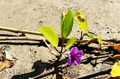 Beach Morning Glory Latin Name Ipomoea Pes-caprae On A Beach In St Kitts poster