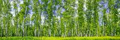 Birch Grove On A Sunny Spring Summer Day, Landscape Banner, Huge Panorama poster