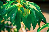 Close-up Green Leaf Of Sweet Cherry With Damage By Ulcers Of Diseases And Fungi Of Brown Spotting Of poster