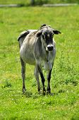 stock photo of zebu  - Zebu - JPG