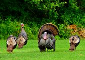 image of wild turkey  - A group of wild turkeys strutting in the spring mating season - JPG