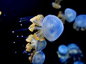Dancing Phyllorhiza Punctata Jellyfish In The Water. Also Known As The Floating Bell, Australian Spo poster
