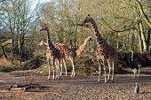 Frederiksberg, Denmark - January 19, 2020: Several Giraffes In The Outdoor Area In Copenhagen Zoo. poster