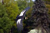 The Andean Condor (vultur Gryphus) Flies With Green Trees In The Background. Big Predator Flying In  poster