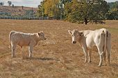 pic of charolais  - Charolais Cow and calf standing in a field in the Mildred Kanipe Park near Oakland OR - JPG