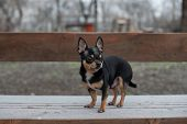Dog Walks In The Park In Winter. Chihuahua On A Walk In Winter. Pet Dog Chihuahua Walks On The Stree poster