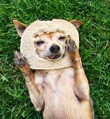stock photo of applehead  - a cute chihuahua with a slice of bread on his head - JPG