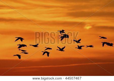 Canada Geese (branta Canadensis) Migrating