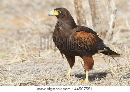 Harris's Hawk (parabuteo Unicinctus) Perched On The Ground - Texas