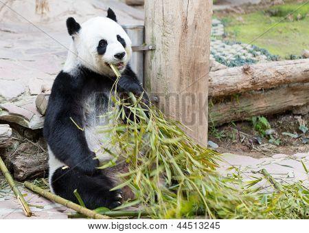 Young Panda In Zoo