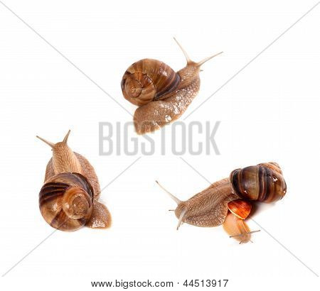 Family Of Snails On White Background. Top View.