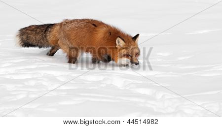 Red Fox (Vulpes vulpes) Trots Right - With Copy Space