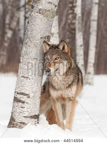 Grey Wolf (Canis lupus) Stands Next To Birch Tree