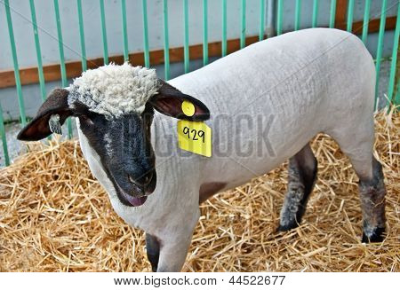 Sheared White Sheep In Pen