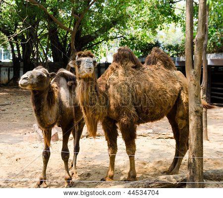 Camelos no zoológico