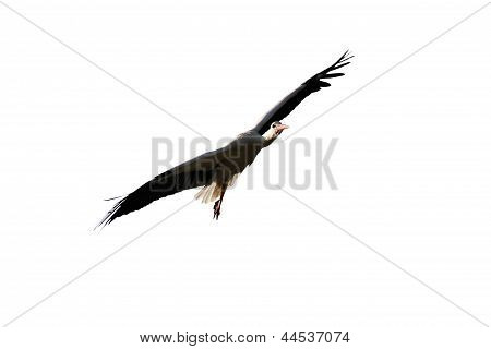 Stork Flying Isolated On White