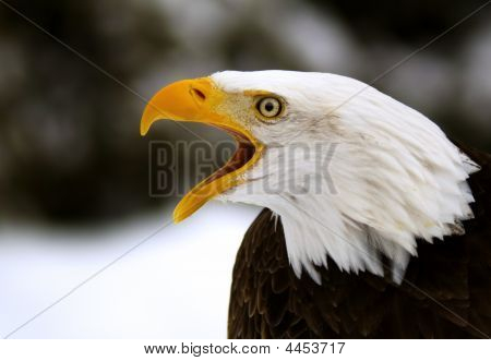 A Screaming Bald Eagle