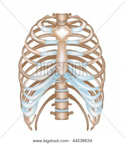 Thorax- ribs, sternum, vertebra