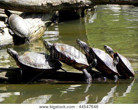 Tren de la tortuga