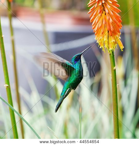 Beautiful Blue Green Hummingbird Flying Over A Tropical Orange Flower Kniphofia