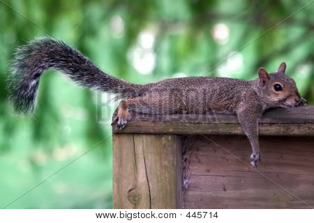 Extremely Lazy Squirrel