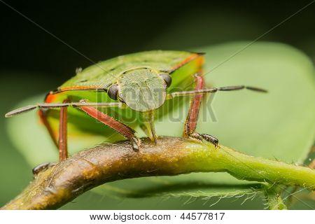 Shield Bug Feeding