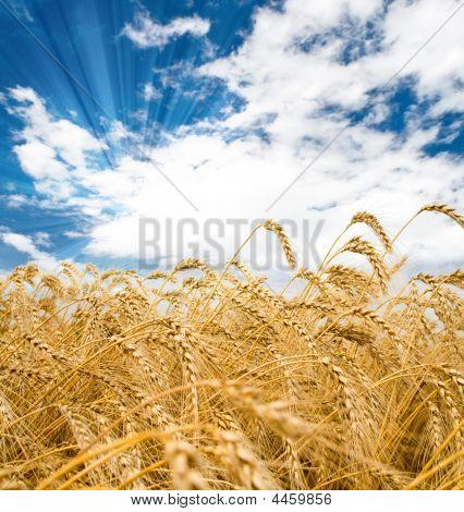 Weizen spikes