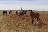 image of horse plowing  - mob of horses spelling in rural field and cloudy sky - JPG