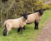 stock photo of suffolk sheep  - Two Sheep with black face and legs - JPG