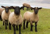 pic of suffolk sheep  - Sheep with black face and legs in field - JPG