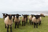 foto of suffolk sheep  - Sheep with black face and legs in a row - JPG