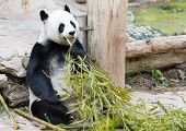 Young Panda In Zoo